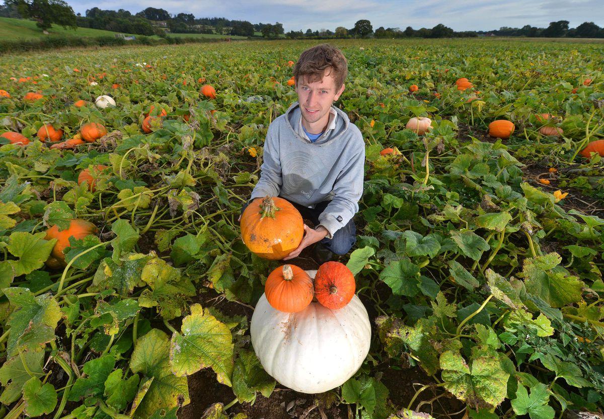 Bob Jones helps get the family farm's pumpkins ready