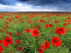 Poppies turned this field into a sea of red
