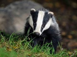 Badger culling rolled out to Shropshire