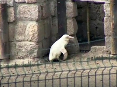 Rare albino penguin makes debut at zoo