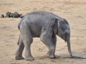 An elephant calf in its enclosure at Twycross Zoo, Warwickshire (Tim Goode/PA)