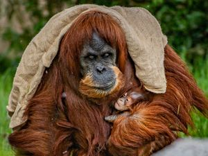 The zoo's new arrival with mum, Emma.