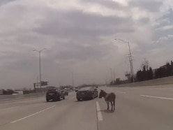 Donkey returned to owner after being found in middle of Chicago road