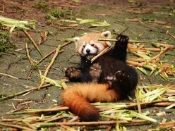 A red panda is celebrating his first birthday and it's too cute