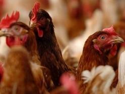 Group taking legal action to try to halt 210,000-bird Bridgnorth chicken farm