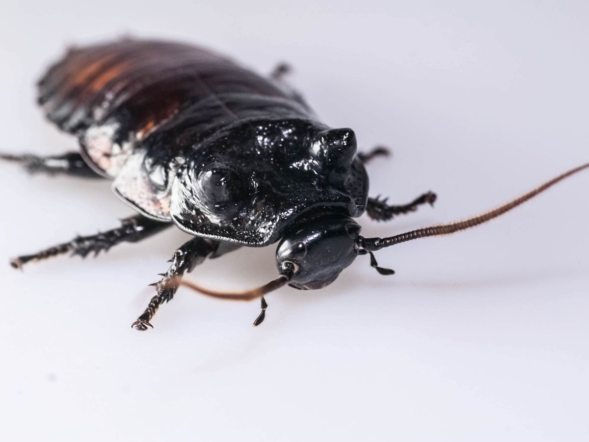 Male wide-horned hissing cockroach