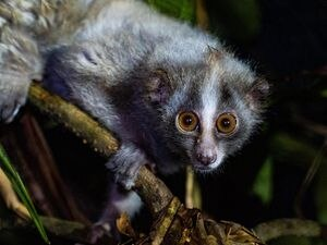 A slow loris being released back into the wild