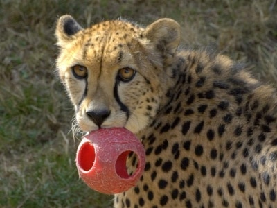 Cheetahs at Oregon Zoo show off their speed chasing balls thrown from a catapult