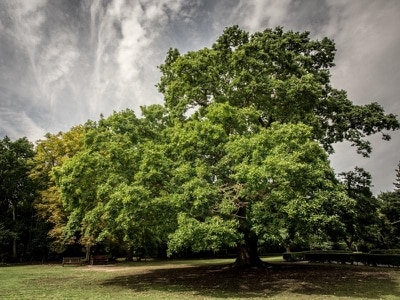 Public urged to vote for Scouting oak to win Europe-wide tree contest
