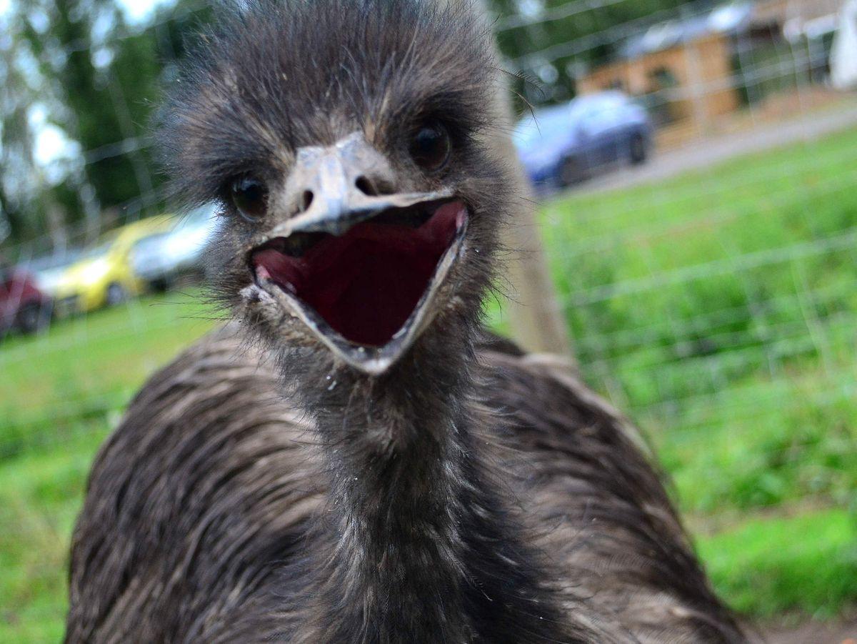 Motorists given emu warning after sightings near Ludlow