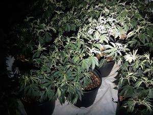 Cannabis found by police. Photo: @TelfordCops