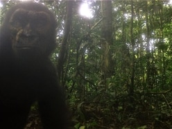 Critically endangered western lowland gorillas pictured in the wild