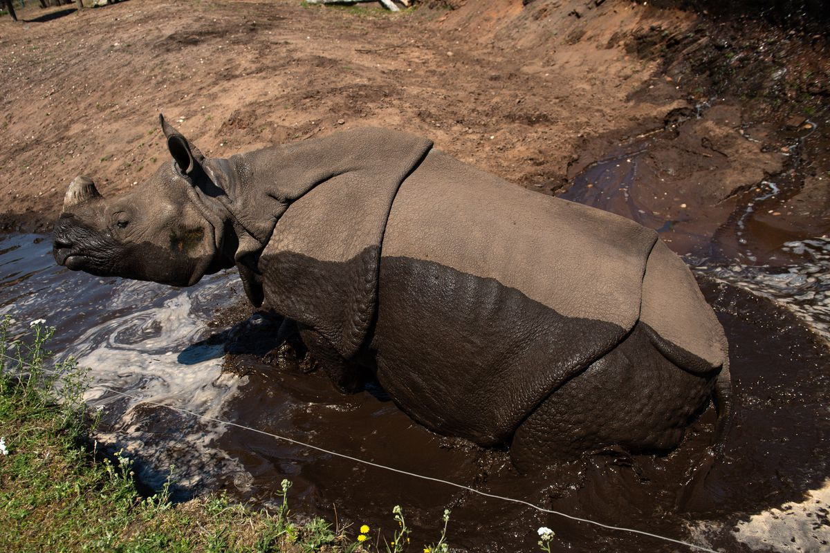 Seto, an Indian rhinoceros cools down