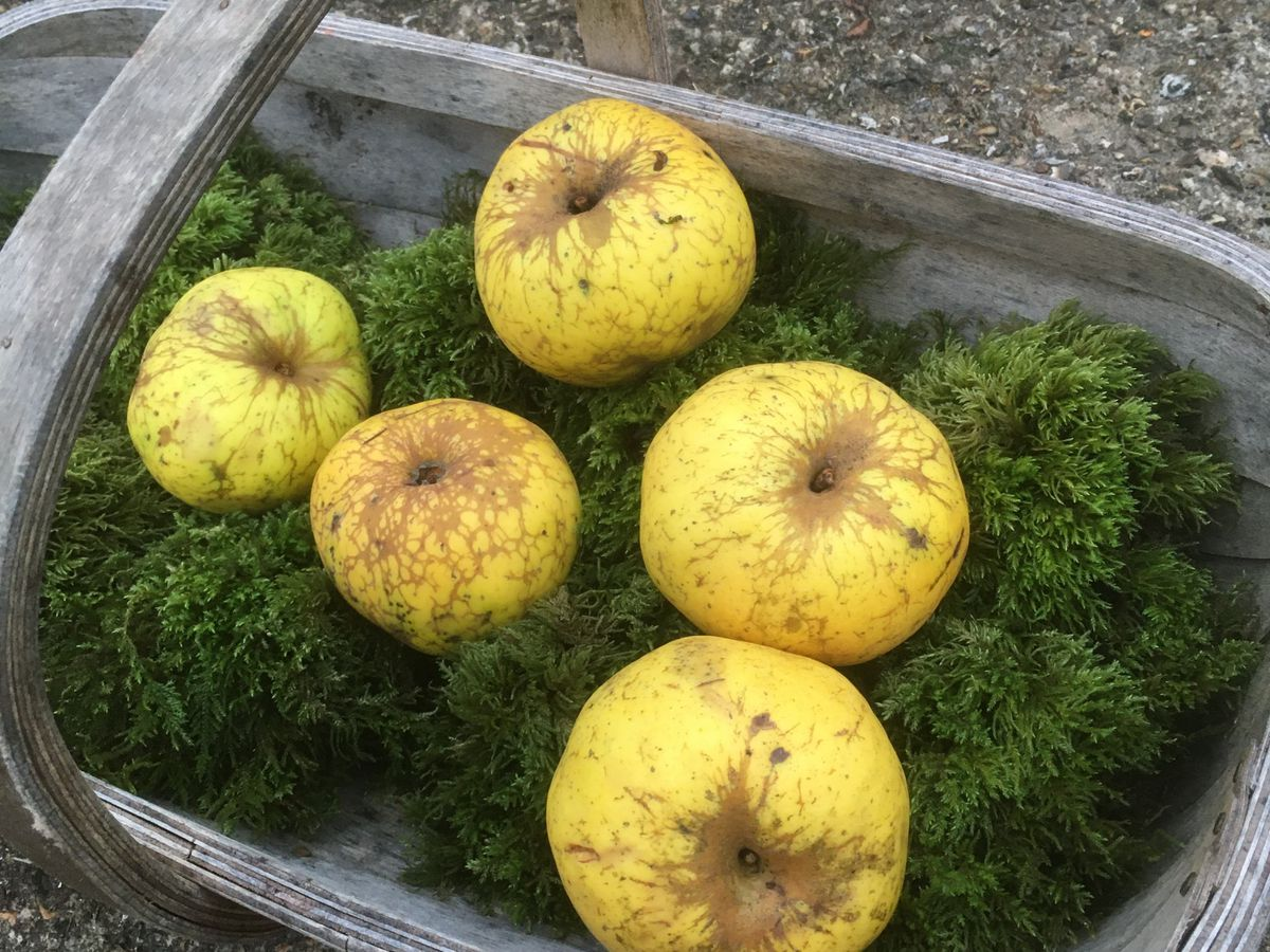 Apples in a trug on moss