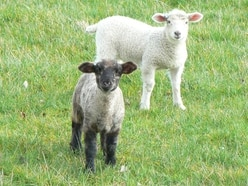 Lambs found on Telford housing estate