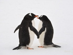 Same-sex 'power couple' penguins given second egg to adopt
