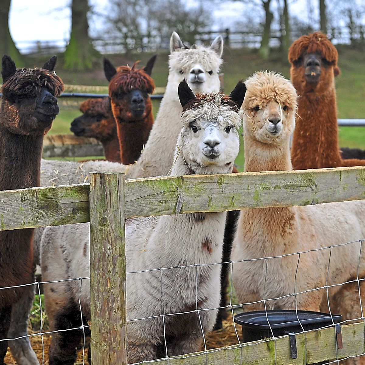Alpaca up your troubles – they are nature's stressbusters