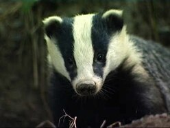 Letter: No justification for the continued culling of badgers or other wildlife