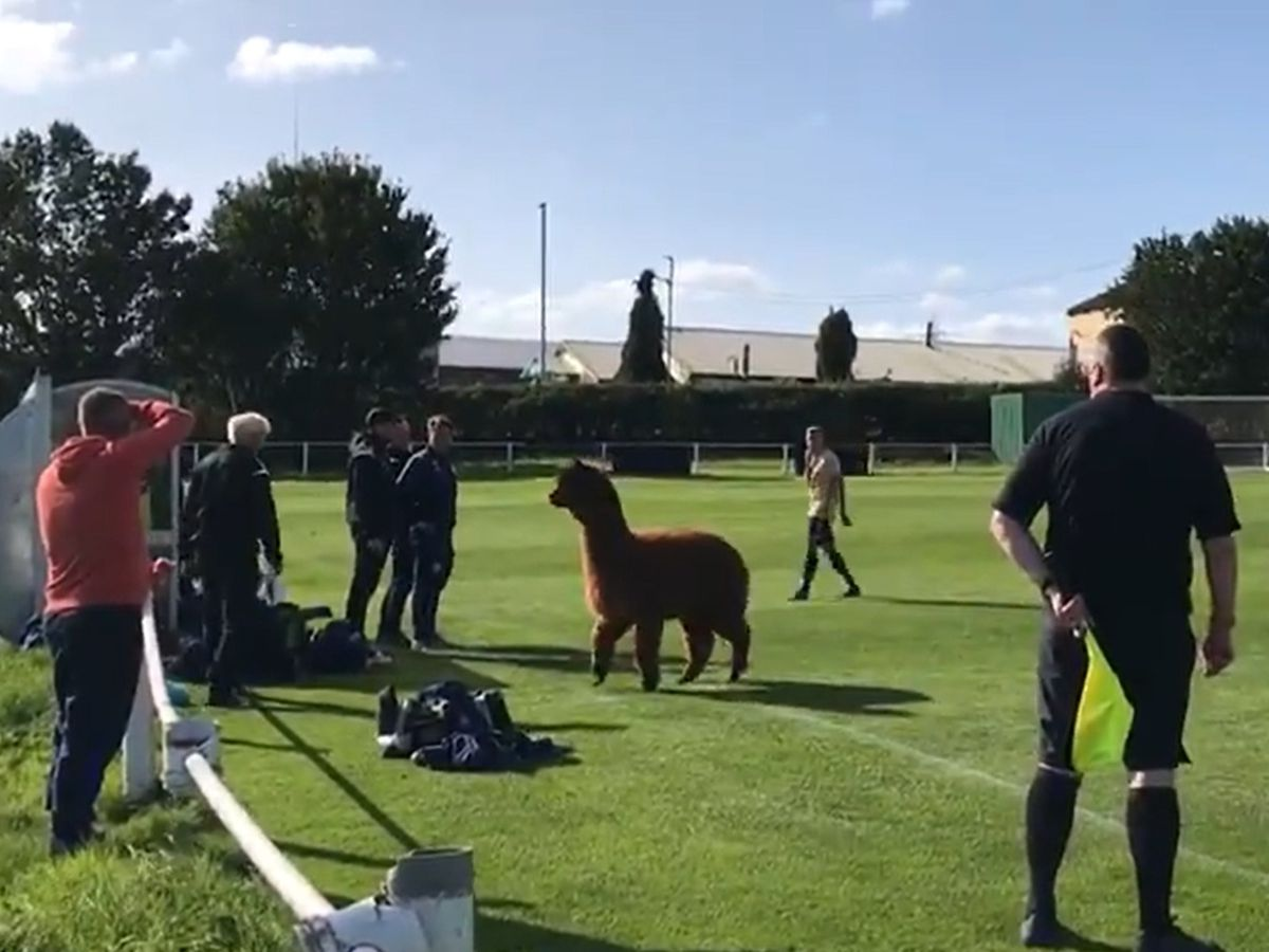 Elusive alpaca pitch invader disrupts Carlton Athletic versus Ilkley Town