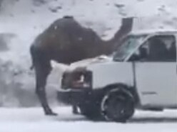 Solving the mystery of why this camel was spotted on the side of a snowy road