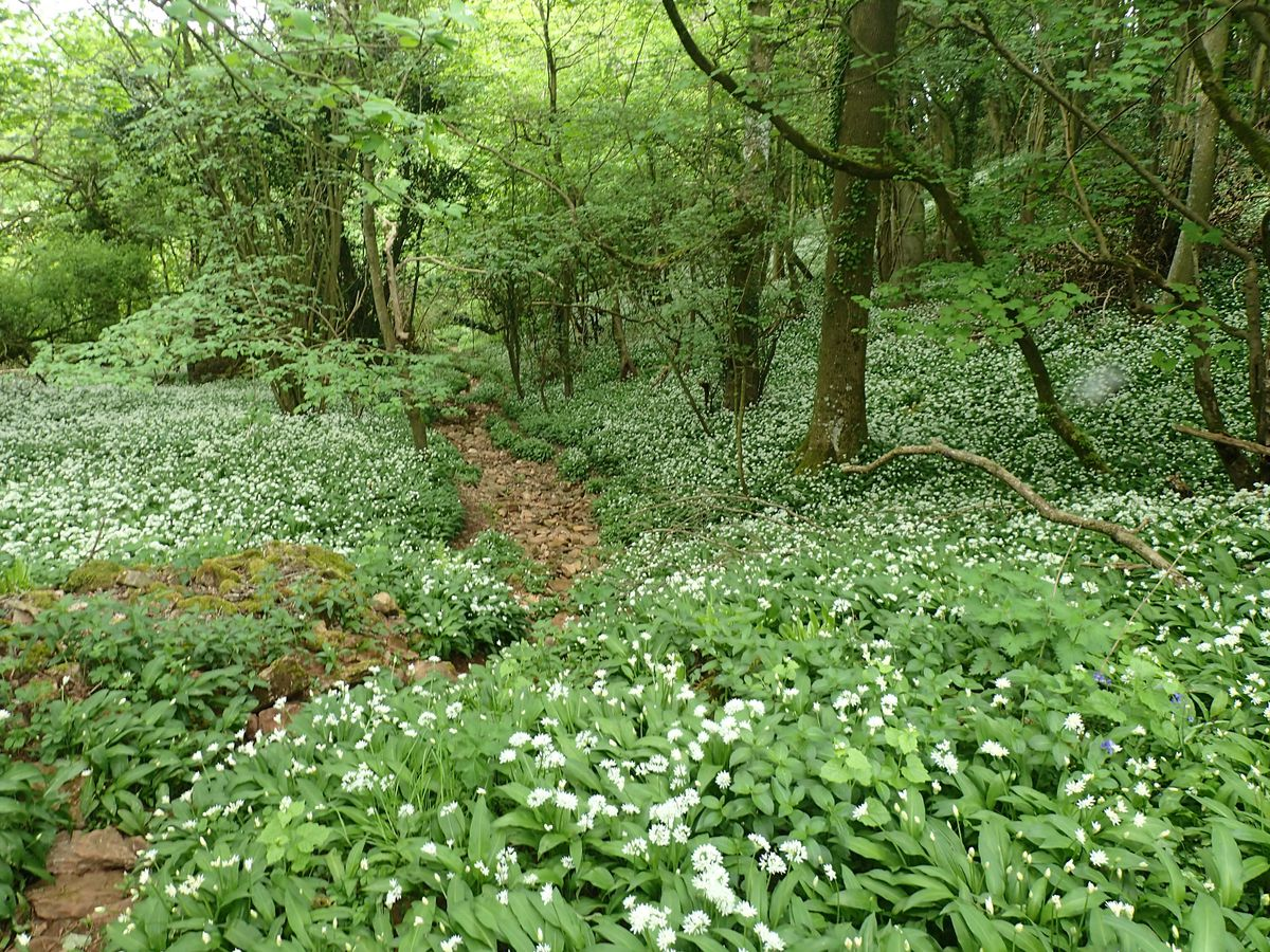 Ramsons, also known as Wild Garlic, smell of garlic and onions