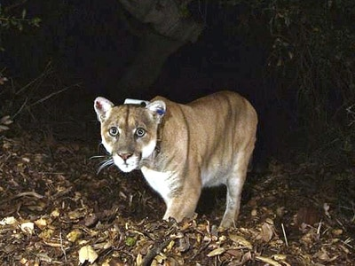 Boy, 8, bitten on head by mountain lion