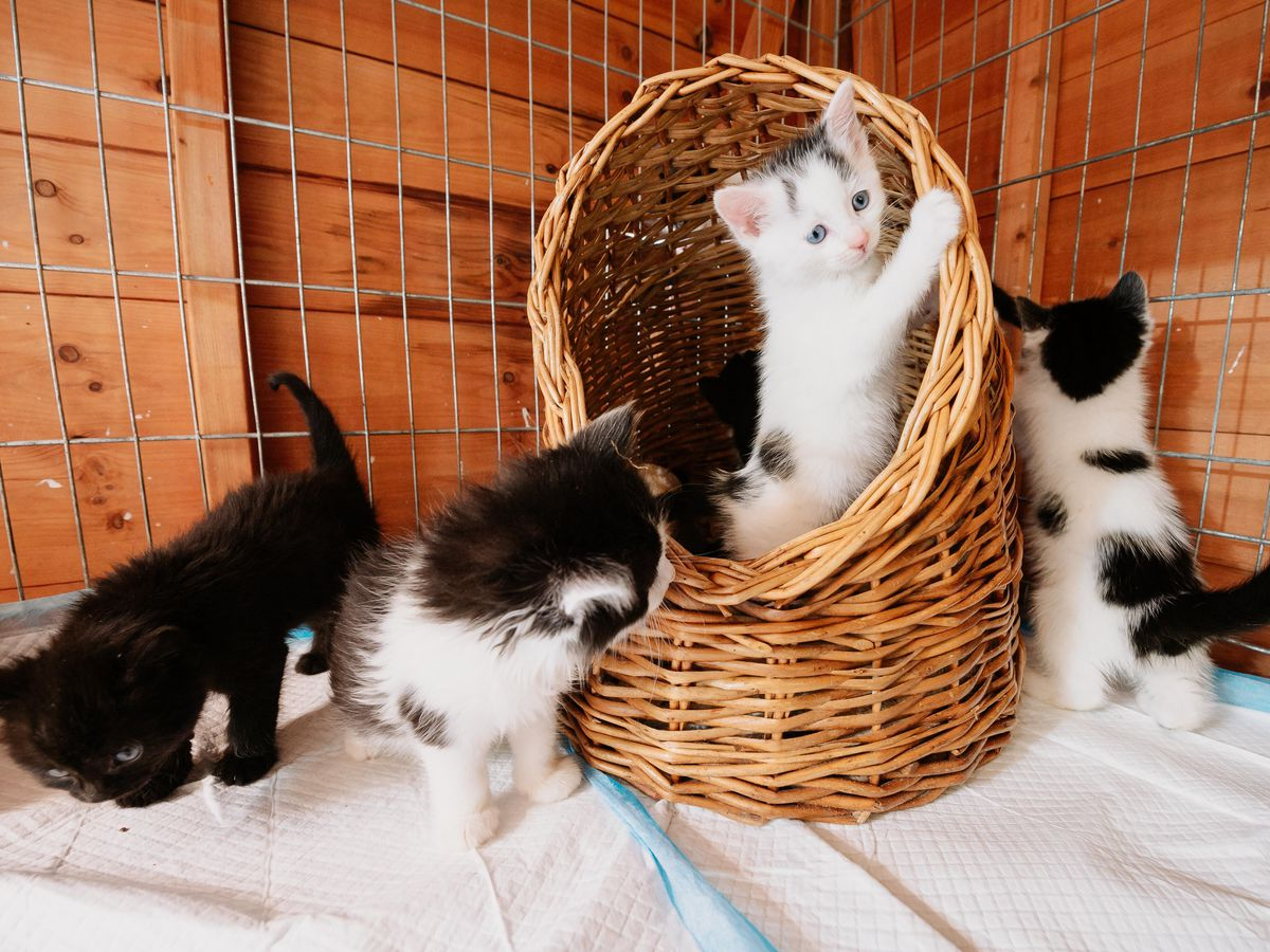 Grinshill Animal Rescue near Shrewsbury recently saved 10 kittens from two litters, which were found dumped in a box near Clive Church