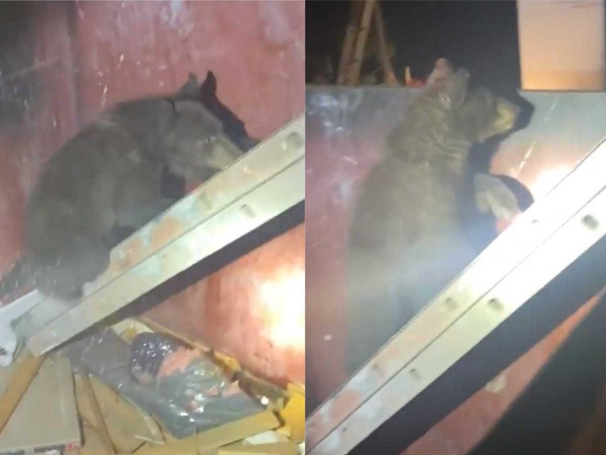 A bear club climbs a ladder to escape a skip