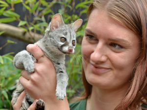 Baby genet 'Kamari', in the hands of volunteer Nina Sabey, at the Exotic Zoo, Telford