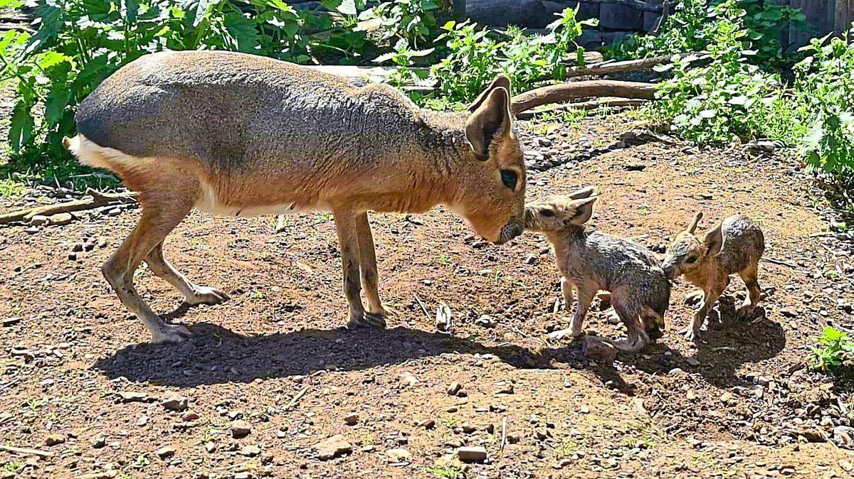 Patagonian Maras born at Telford's Exotic Zoo