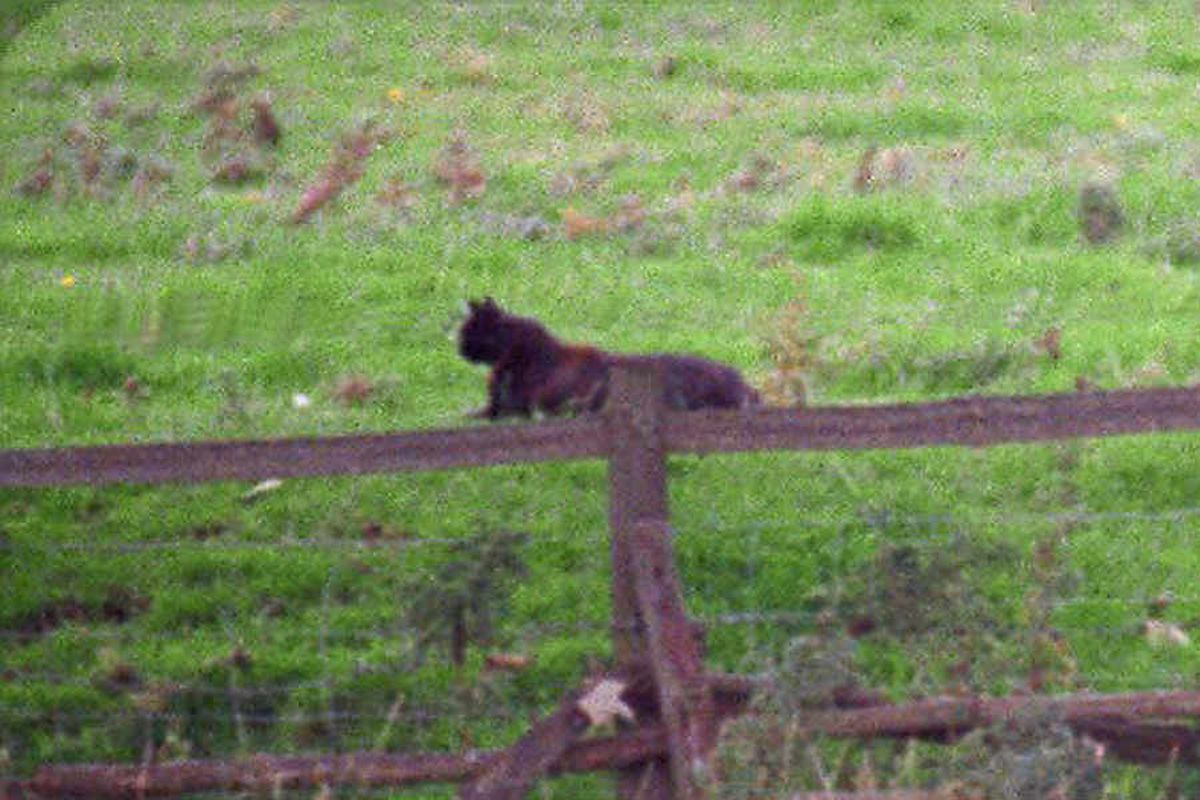 Big cats in Shropshire: A tall tale or serious threat?