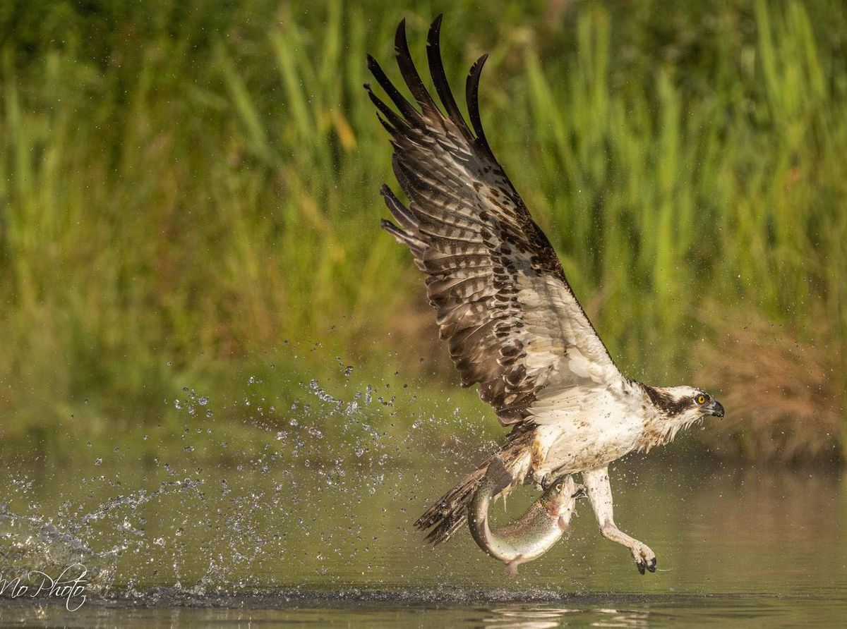 Jon Morris from Cockshutt took this incredible photo of an Osprey last month