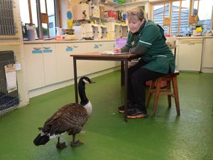 Cuan Wildlife Rescue manager Fran Hill with one of the latest admissions at the hospital in Much Wenlock