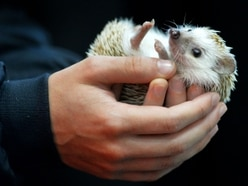 Hedgehog highways housing law hailed a 'breakthrough' by Shropshire charity