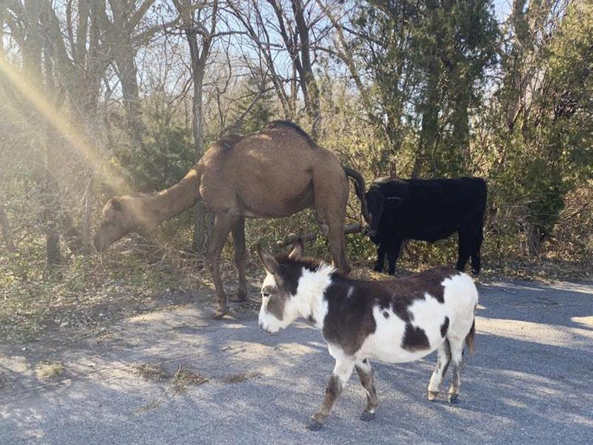 A camel, donkey and a cow found roaming together along a road