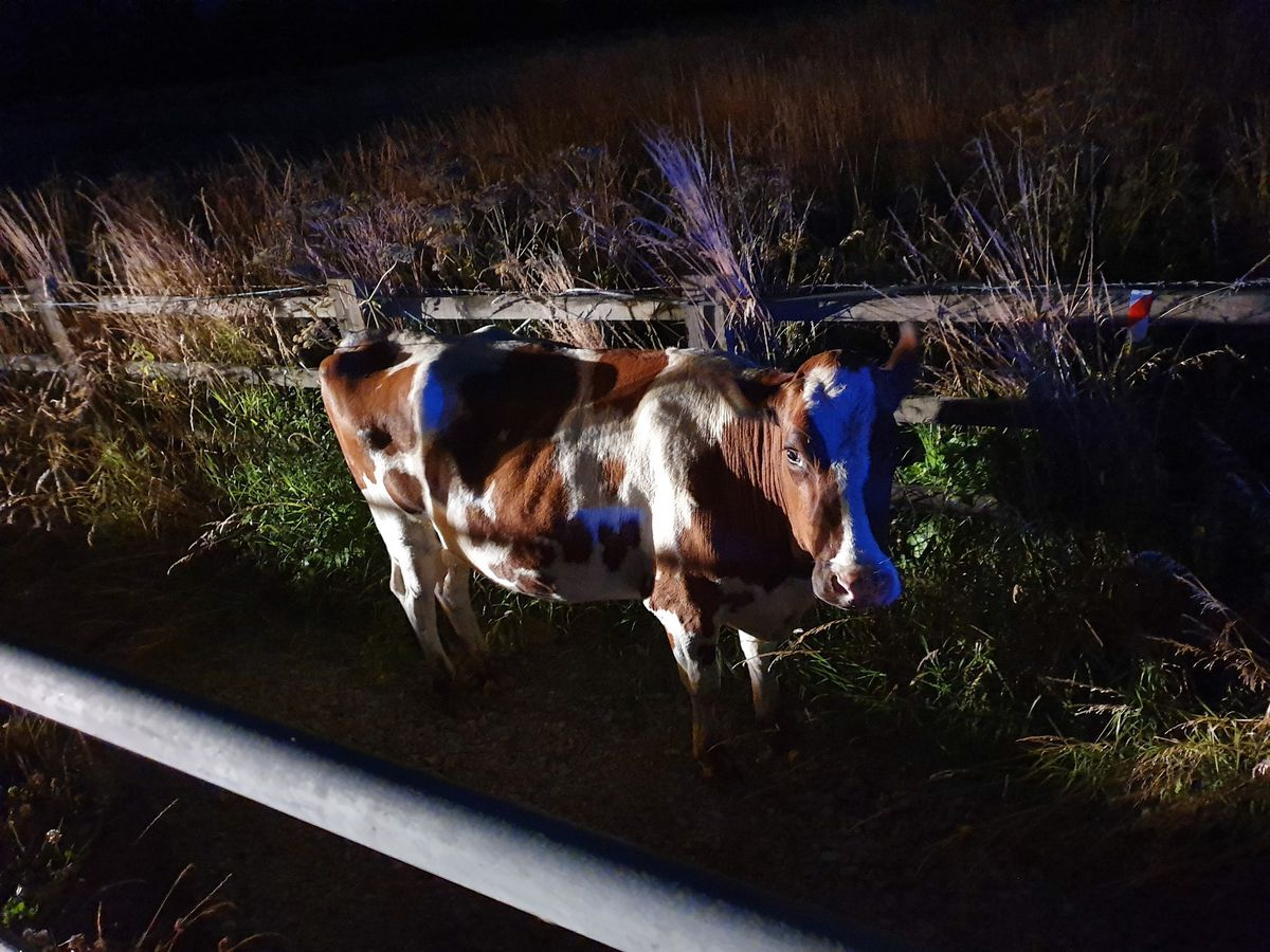 The cow was corralled by officers to behind a fence. Photo: @CMPG