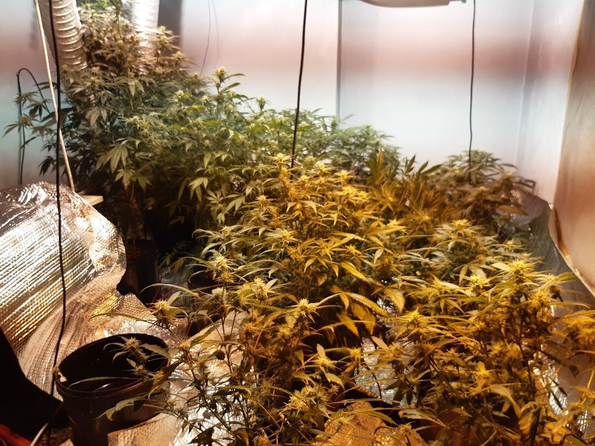 Cannabis plants were recovered in a series of raids. Photo: North Wales Police Wrexham Rural