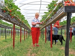 Pick-your-own just got easier at strawberry farm near Bridgnorth