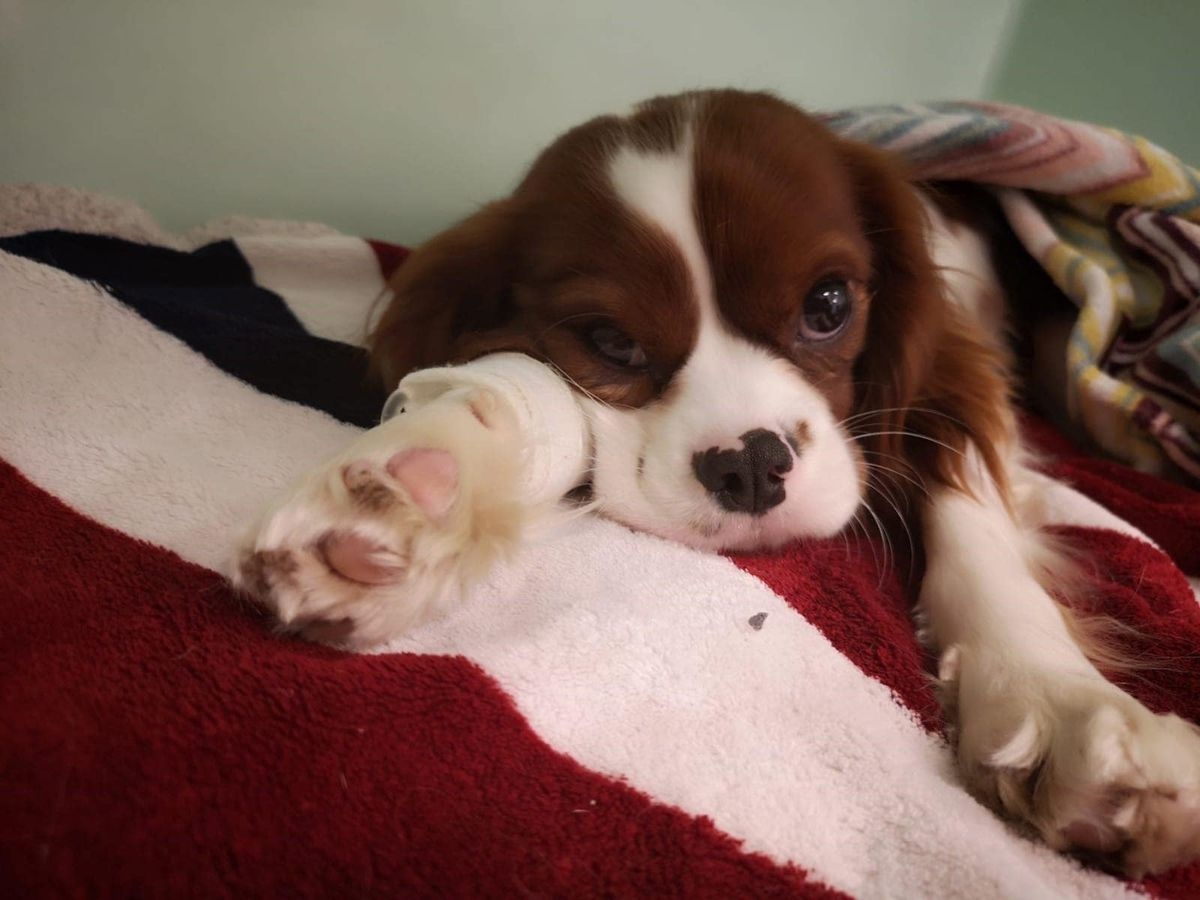 Toffee the Cavalier King Charles Spaniel at the Blue Cross animal hospital in Victoria, London