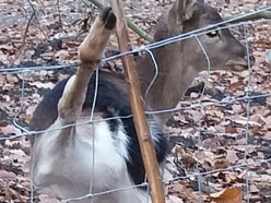 Warning issued after another deer found trapped in wire fencing in Telford