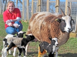 Spring has sprung as new lamb triplets arrive at Telford animal park