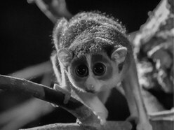 Tiny twin slender loris babies born at Newquay Zoo