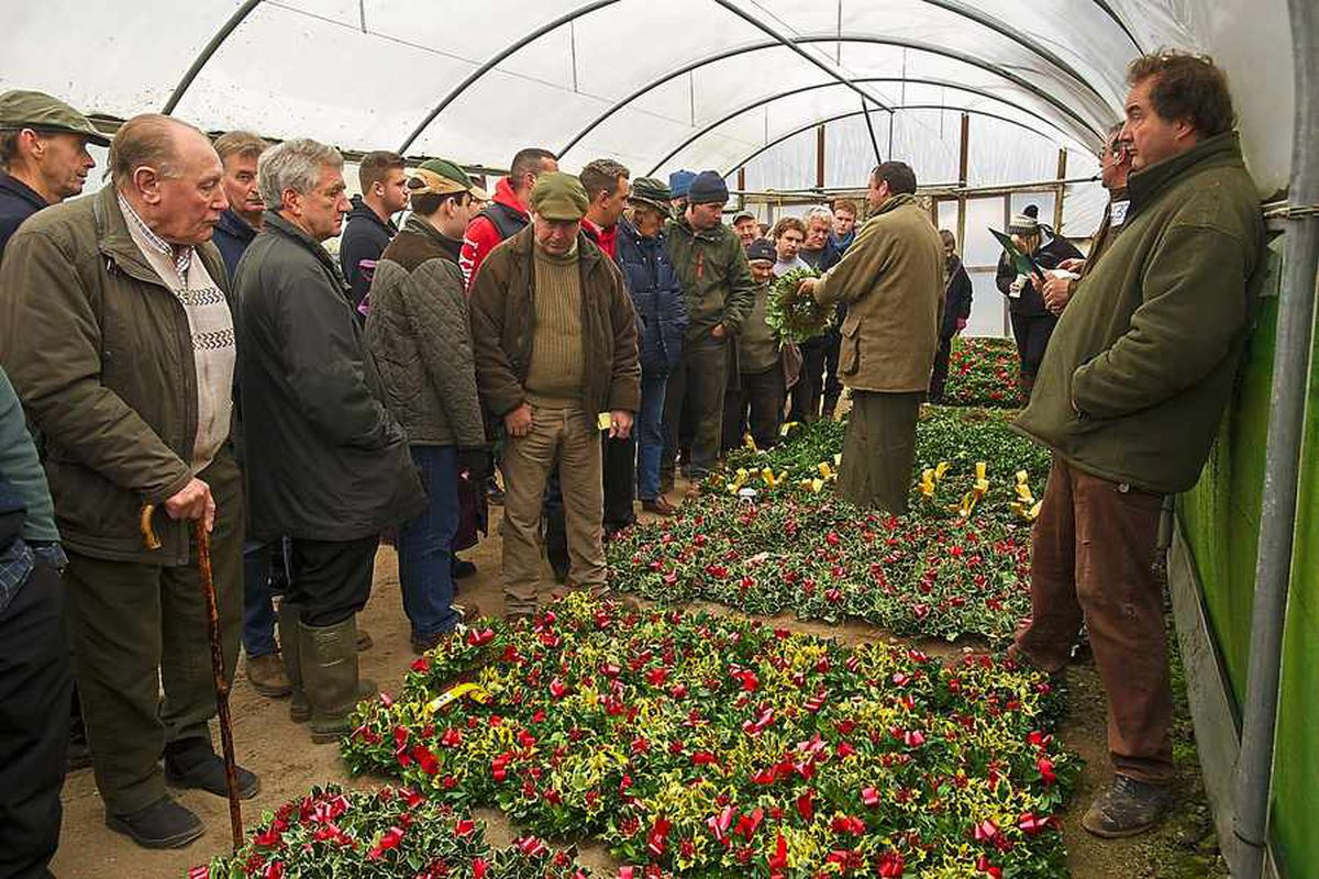 In pictures: Mistletoe auction is sprig business in these parts
