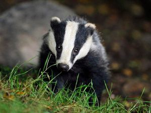 Badger culls are to be gradually phased out, the Government has said