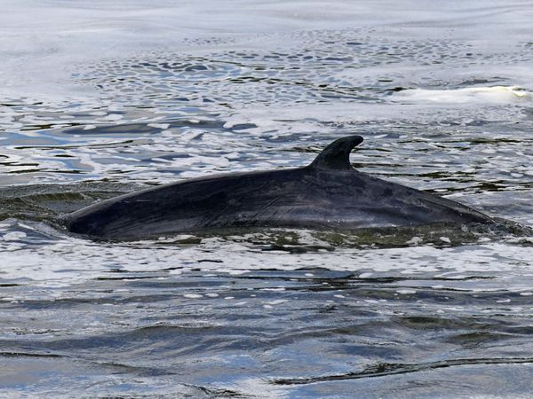 Minke whale in the Thames