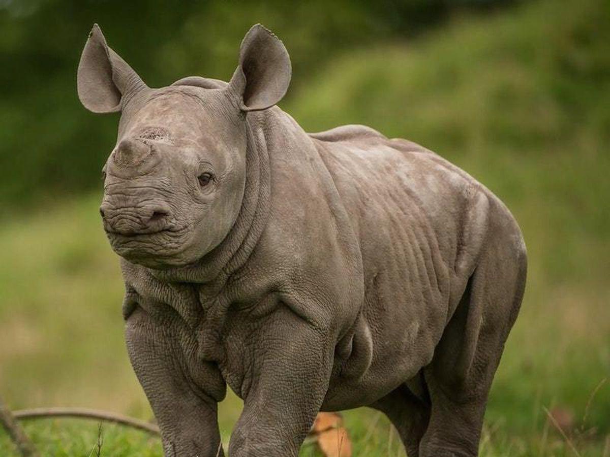 Check out this needy baby rhinoceros ahead of World Rhino ...