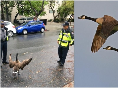 Police get their feathers ruffled as mischievous goose blocks traffic in California