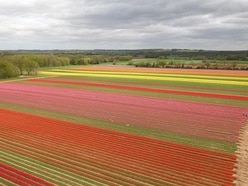 In Video: Tulip field blooms in explosion of colour