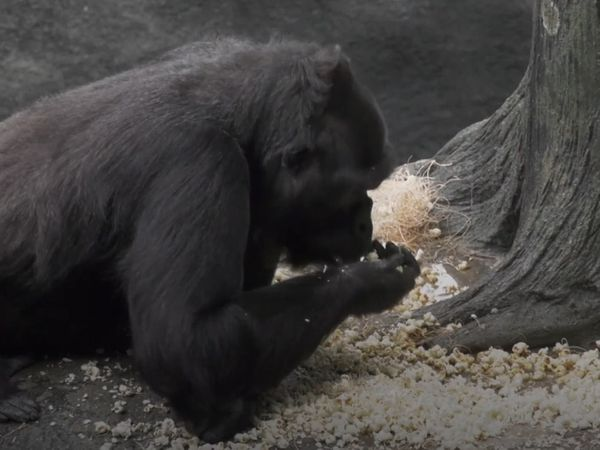 A gorilla eating popcorn