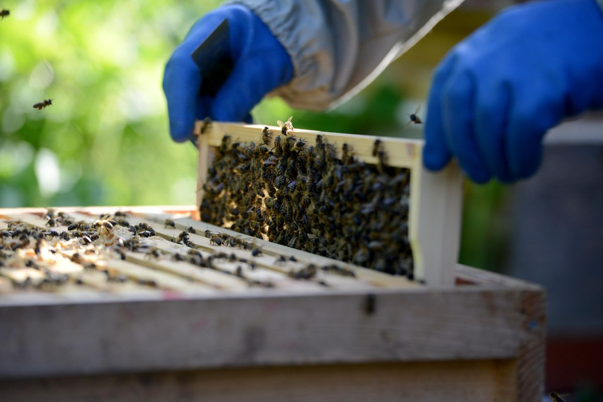 Each hive will contain a queen bee, male drone bees and tens of thousands of female worker bees